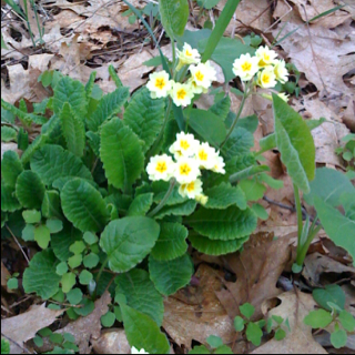Primrose In The Rough